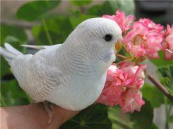 Когда у Вас появятся волнистые попугаи, Вы забудете обо всем, кроме них...