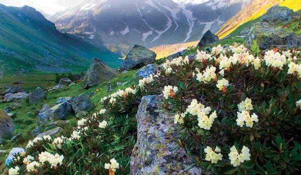 Кавказский рододендрон